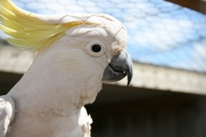 Charlie the Cockatoo