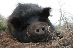 Seymour the Pig