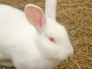 Blossie the Rabbit