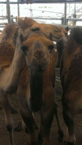 camels from sales at Echuca 005 (2).jpg.opt419x742o0,0s419x742